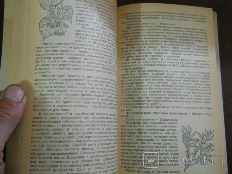 Пряно-араматические и пряно-вкусовые растения, фото №6