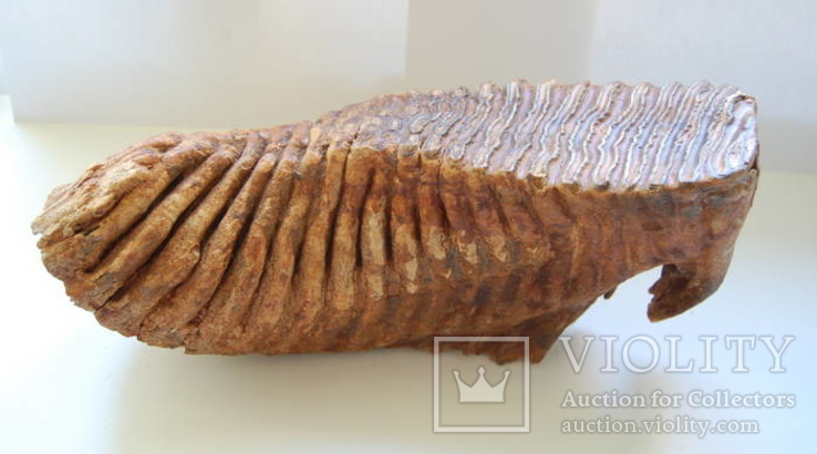 Зуб Мамонта. Полный фрагмент. Вес 6,1кг