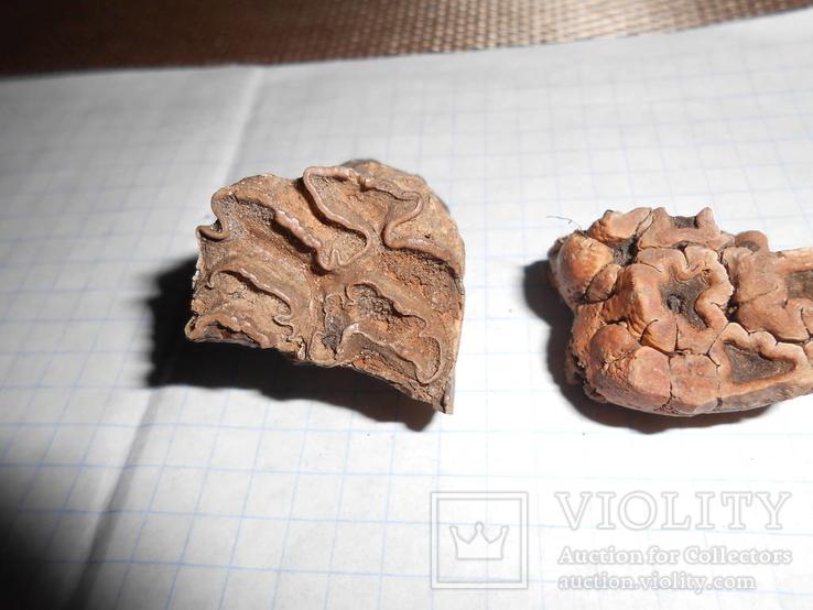 Древние зубы жывотных, фото №5