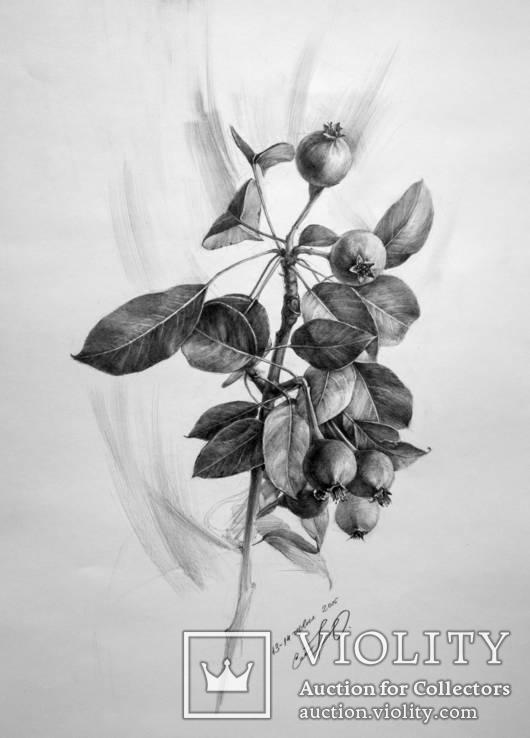Веточка дикой груши (40х30см) карандаш. Юлия Смаль
