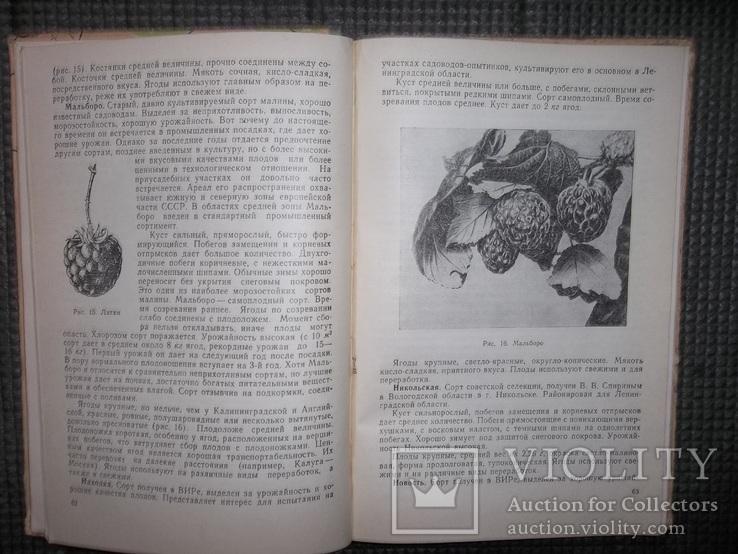 Культура ягодников в приусадебных садах.1966 год., фото №7