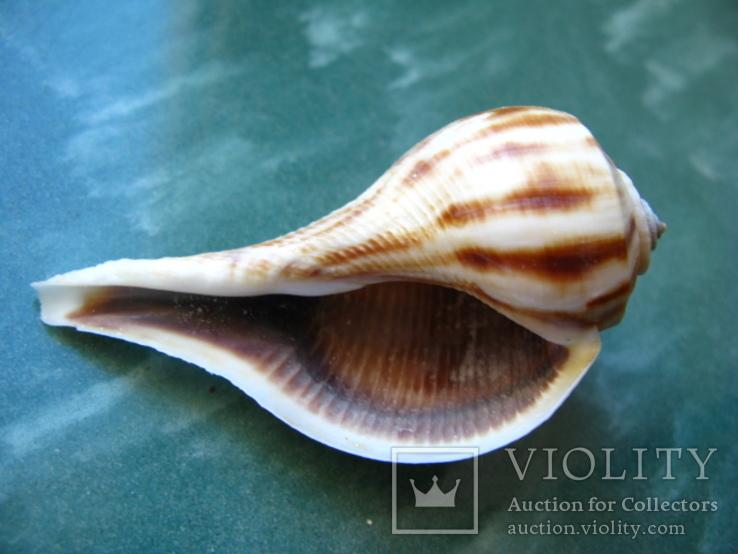 Морская ракушка раковина Busycon spiratum