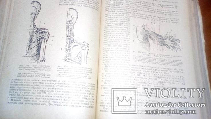 Анатомия людини 1939г, фото №7
