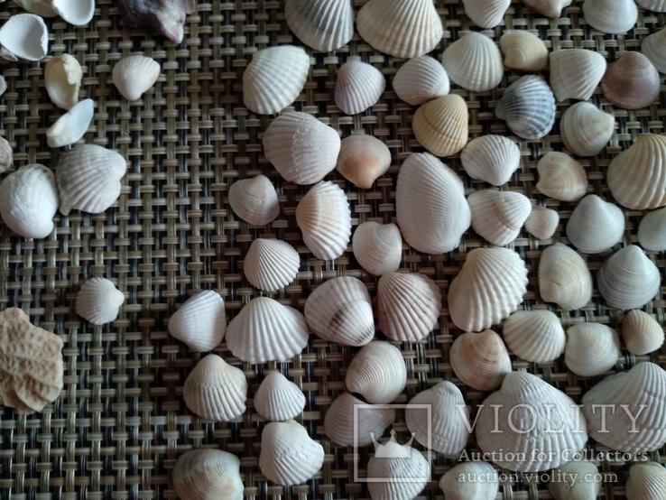 Ракушки морские, много, фото №4