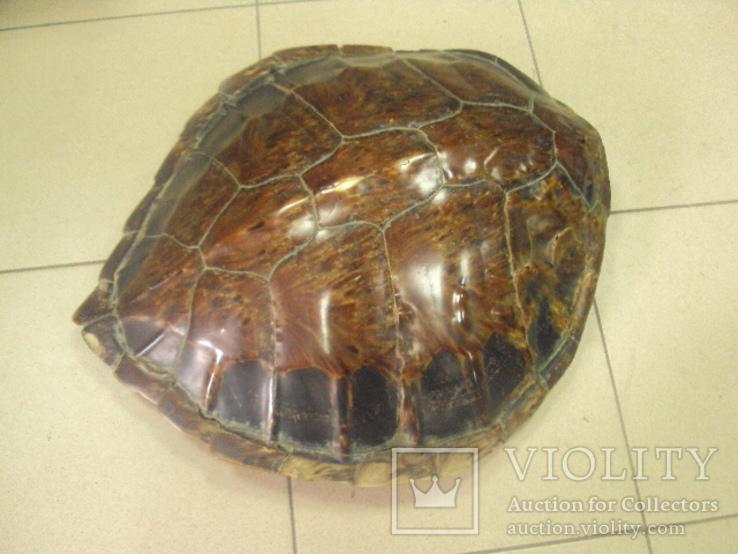 Африка панцирь черепахи, вес 1,19 кг, фото №2