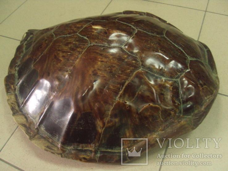 Африка панцирь черепахи, вес 1,19 кг, фото №7