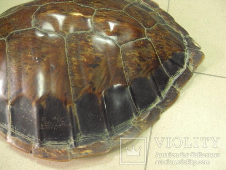 Африка панцирь черепахи, вес 1,19 кг, фото №9