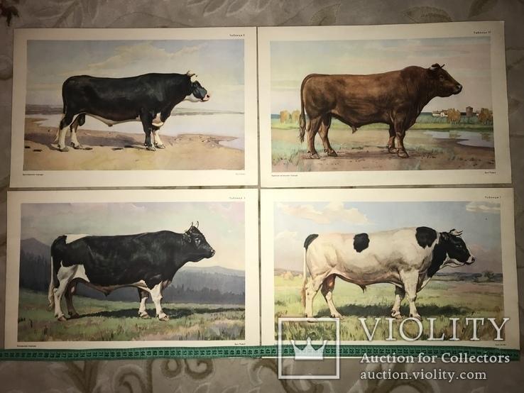 Коровы Лошади Редкий Огромный Альбом 45/32 Соцреализм, фото №3