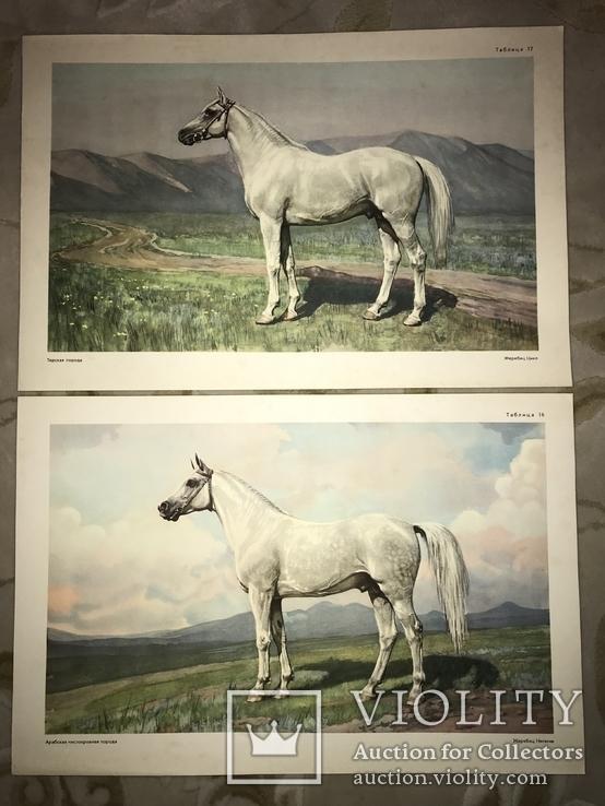 Коровы Лошади Редкий Огромный Альбом 45/32 Соцреализм, фото №8
