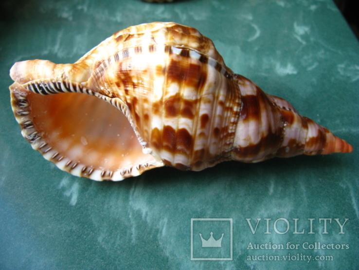 Морская раковина Рог Тритона haronia