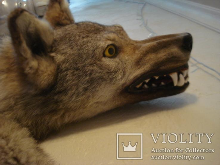 Волк, шкура с объёмной головой