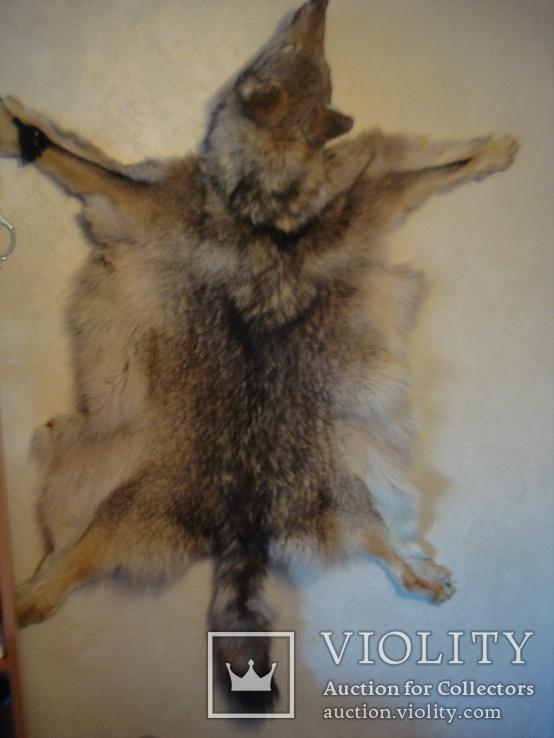 Волк, шкура с объёмной головой, фото №5