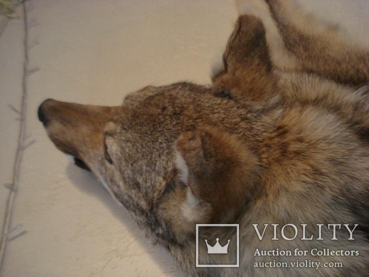 Волк, шкура с объёмной головой, фото №7