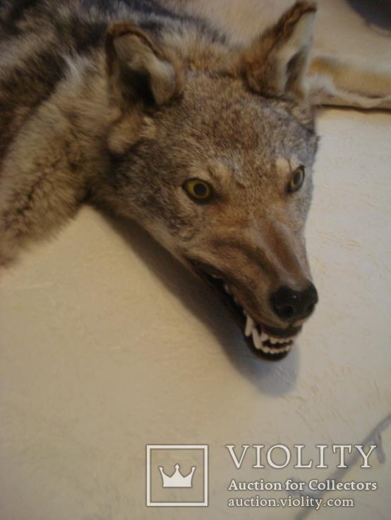 Волк, шкура с объёмной головой, фото №9