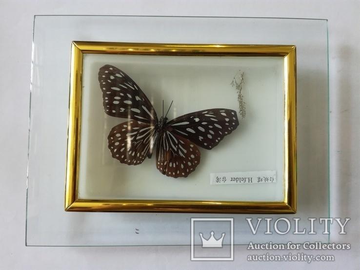 Бабочка в коробочке под стеклом.