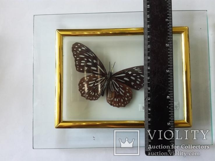Бабочка в коробочке под стеклом., фото №4