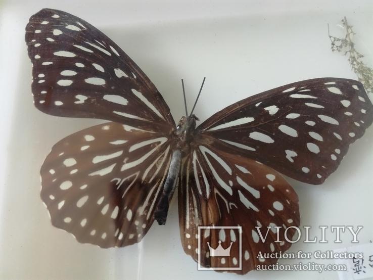 Бабочка в коробочке под стеклом., фото №5