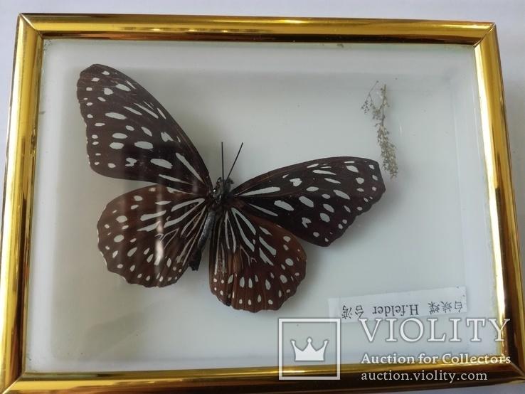 Бабочка в коробочке под стеклом., фото №6