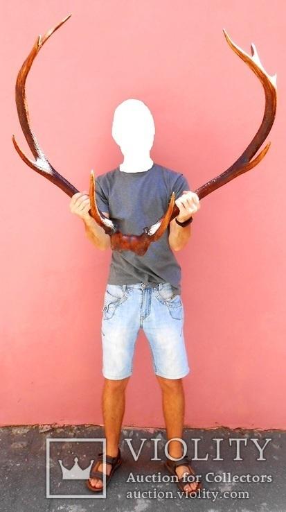 Рога оленя 90см. (вес 4кг.), фото №4