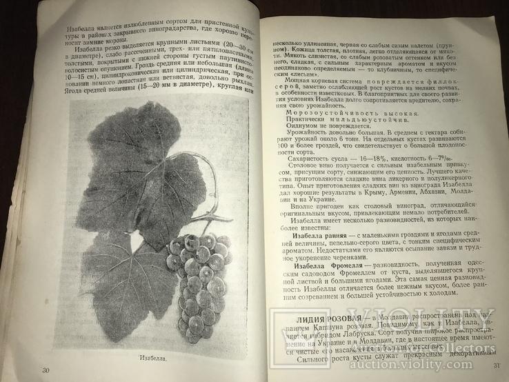 Одесса Сорта винограда Гибриды, фото №6