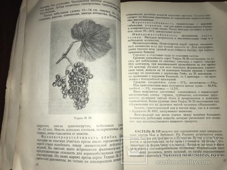 Одесса Сорта винограда Гибриды, фото №7