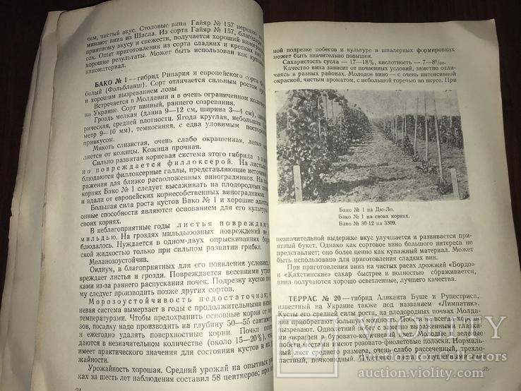 Одесса Сорта винограда Гибриды, фото №8
