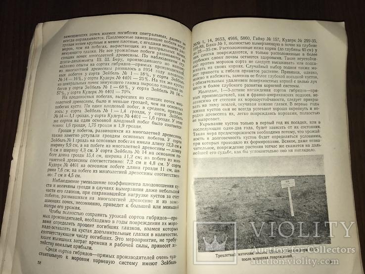 Одесса Сорта винограда Гибриды, фото №12