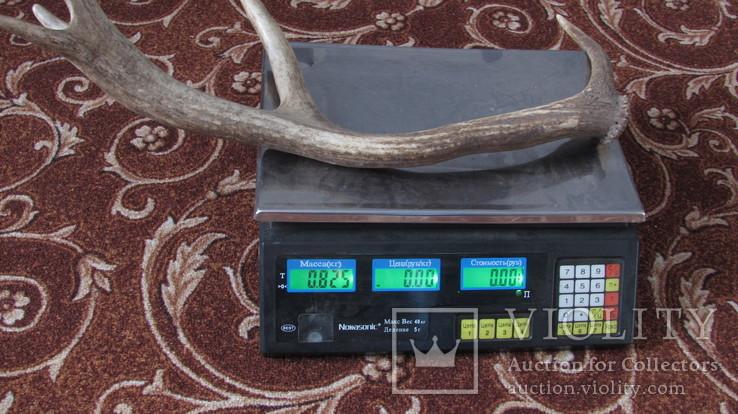 Рог марала 0.825 кг, фото №4