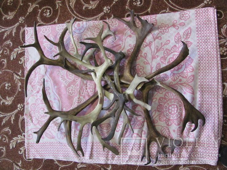Роги оленя 3.155 кг, фото №2