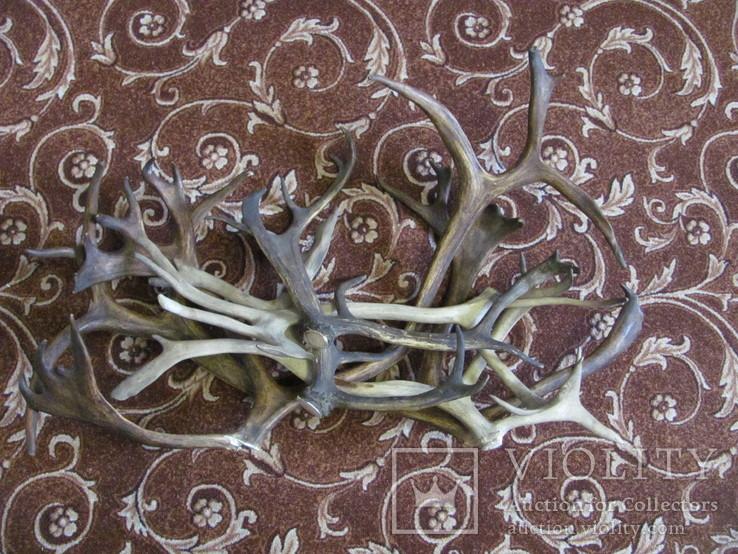 Роги оленя 3.155 кг, фото №4