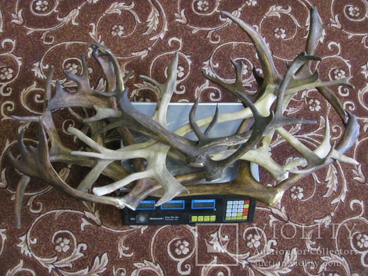 Роги оленя 3.155 кг, фото №5