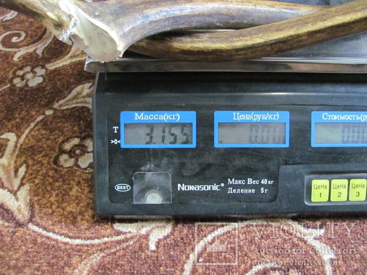 Роги оленя 3.155 кг, фото №8