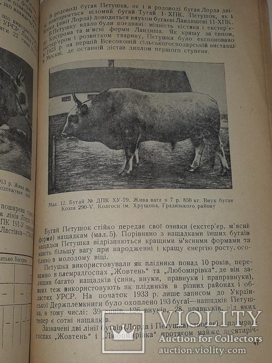 1940 Сiра українська худоба, фото №7