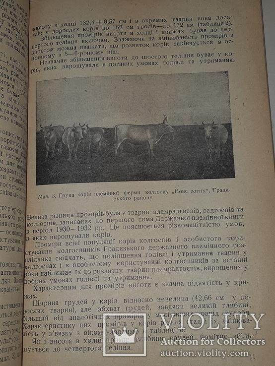 1940 Сiра українська худоба, фото №8