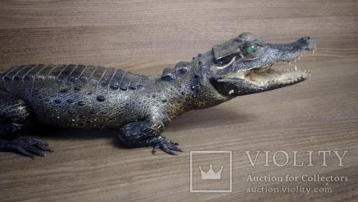 Нильский крокодил, фото №5