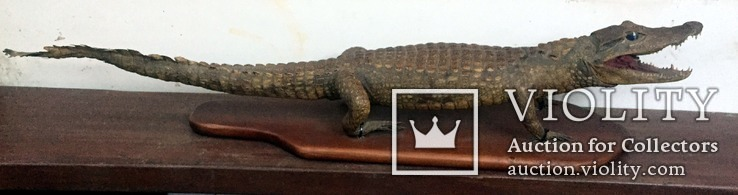Чучело крокодила 110х22 см Германия