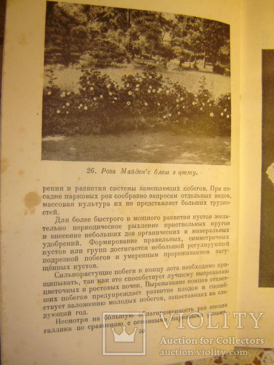 Розы. 1949г, фото №5