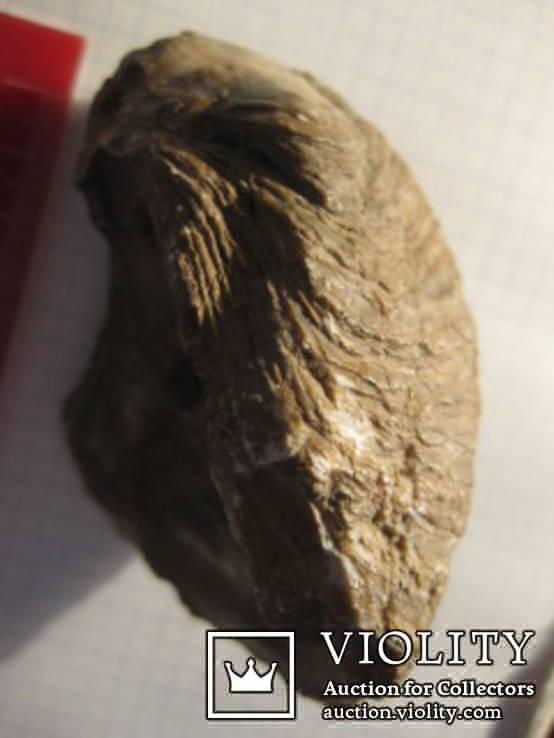 Половинка Двустворчатого Моллюска, фото №2