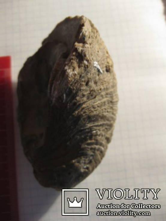 Половинка Двустворчатого Моллюска, фото №5