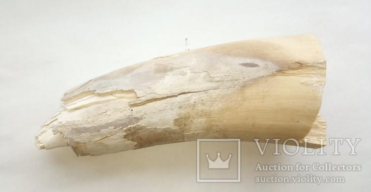 Фрагменты бивня мамонта 463 г, фото №3