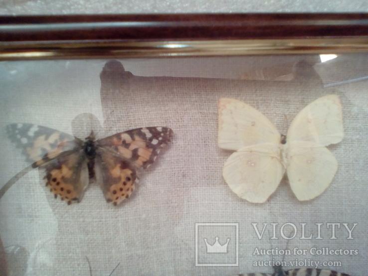 Коллекция бабочек, фото №4