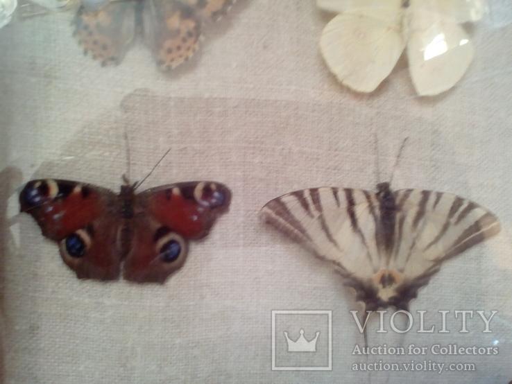 Коллекция бабочек, фото №5