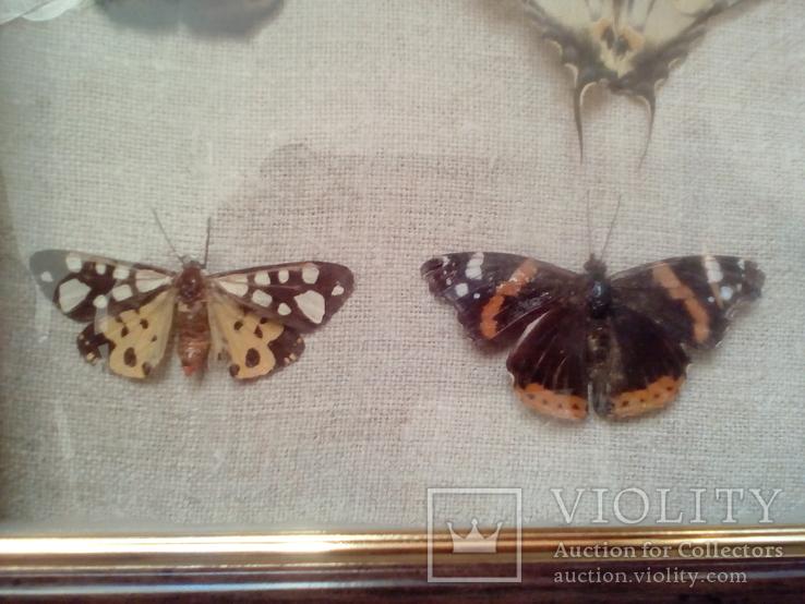Коллекция бабочек, фото №6