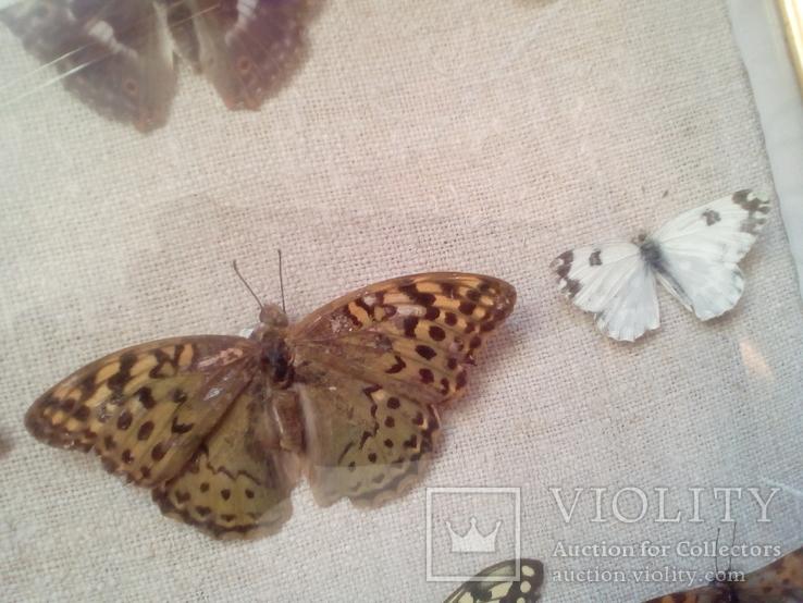 Коллекция бабочек, фото №8