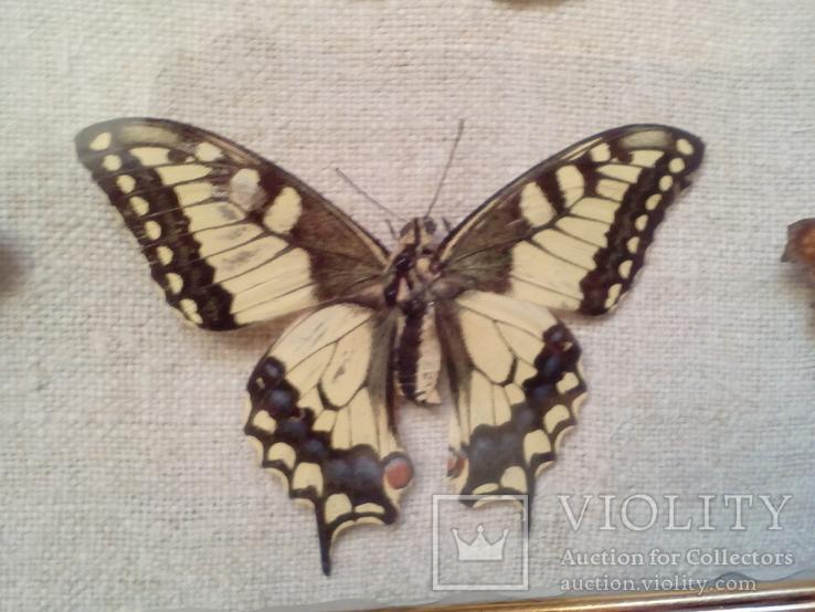 Коллекция бабочек, фото №9