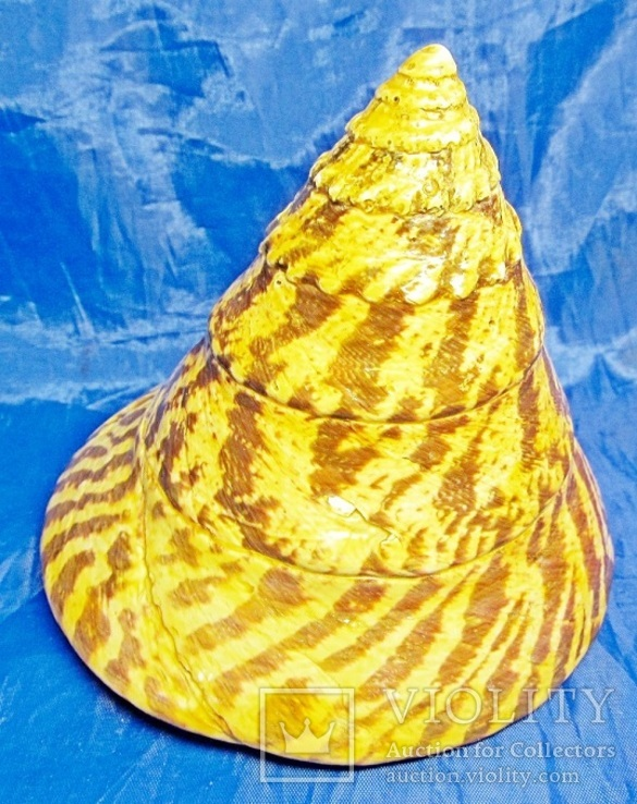 Трохус нилотикус, Trochus niloticus (Нильский трохус), фото №8