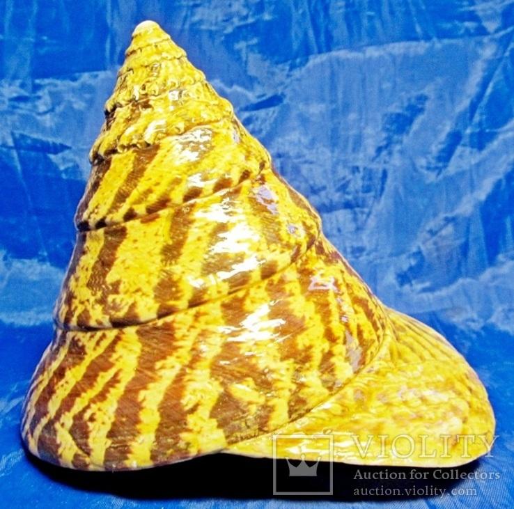 Трохус нилотикус, Trochus niloticus (Нильский трохус), фото №9
