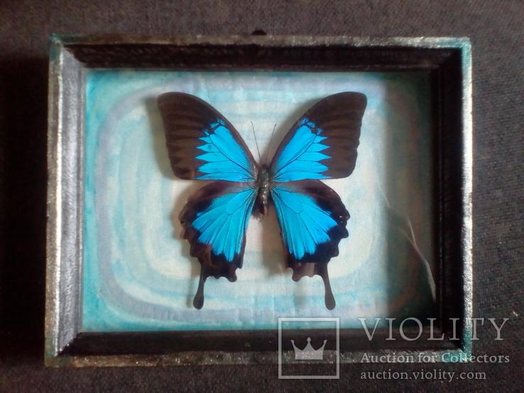 Бабочка Папилио улисс в рамке, фото №2