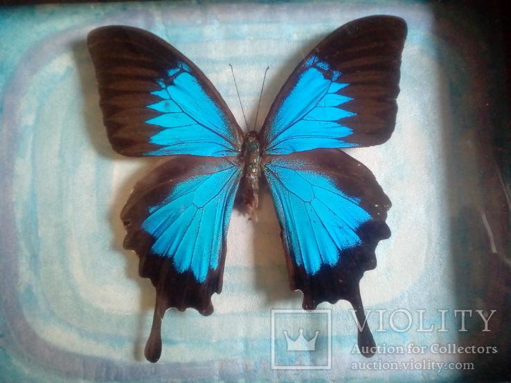 Бабочка Папилио улисс в рамке, фото №3