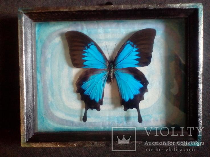 Бабочка Папилио улисс в рамке, фото №4